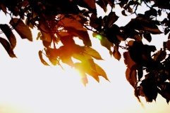 leaves sunset