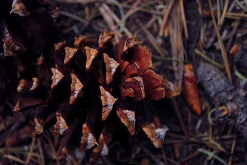 fall pine cone - Copy